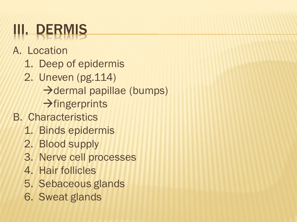 A. Location 1. Deep of epidermis 2. Uneven (pg.114)  dermal papillae (bumps)  fingerprints B.