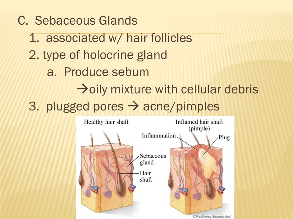 C. Sebaceous Glands 1. associated w/ hair follicles 2.