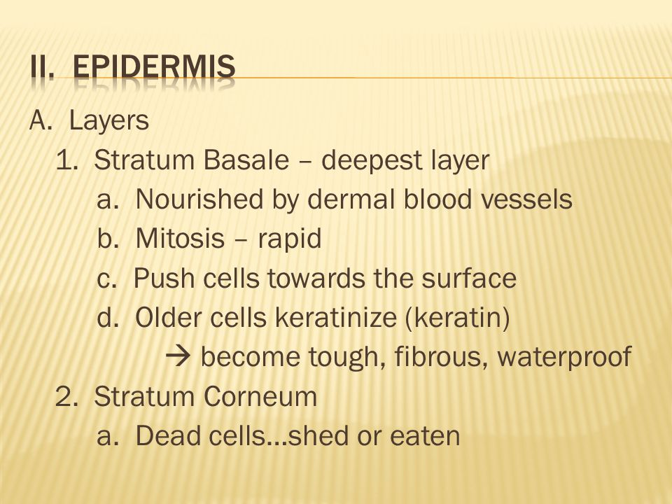 A. Layers 1. Stratum Basale – deepest layer a. Nourished by dermal blood vessels b.