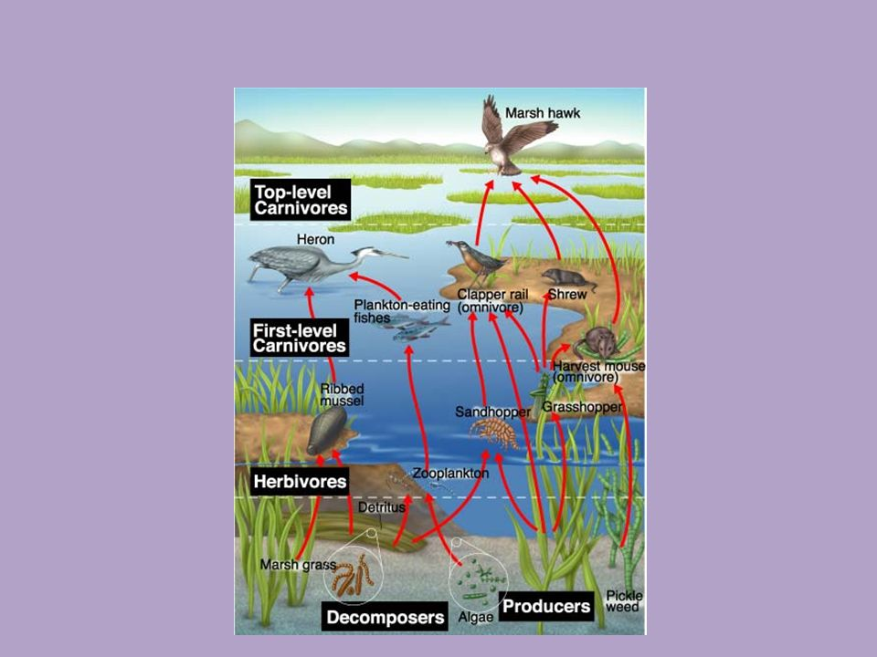Food Web Network of complex interactions formed by the feeding relationship among the various organisms in an ecosystem.