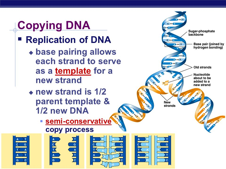 process of dna replication essay The process of dna replication involves the accumulation of a nick in one of the two strands of the dna helix this nick results in the unwinding of the double helical structure and the decrease in the torsion of the.
