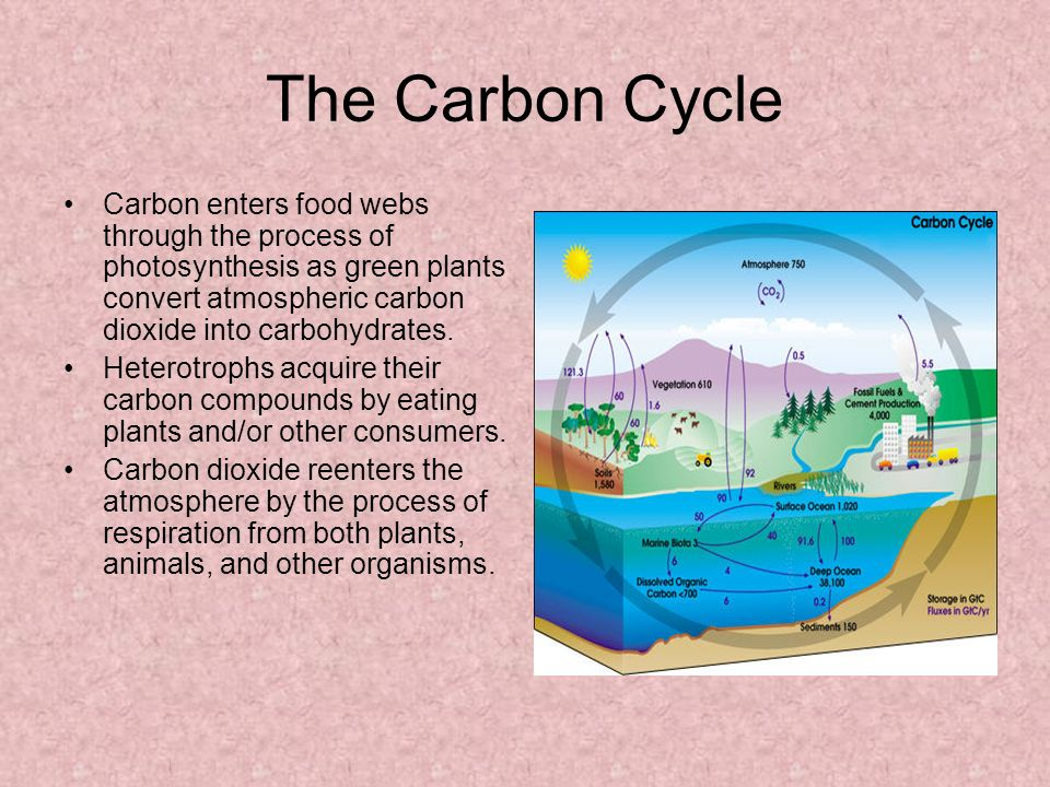 The Carbon Cycle Carbon enters food webs through the process of photosynthesis as green plants convert atmospheric carbon dioxide into carbohydrates.