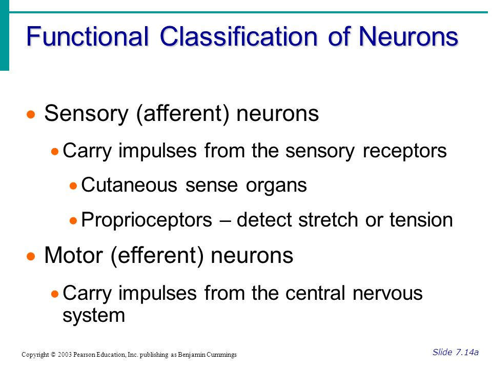 Functional Classification of Neurons Slide 7.14a Copyright © 2003 Pearson Education, Inc.