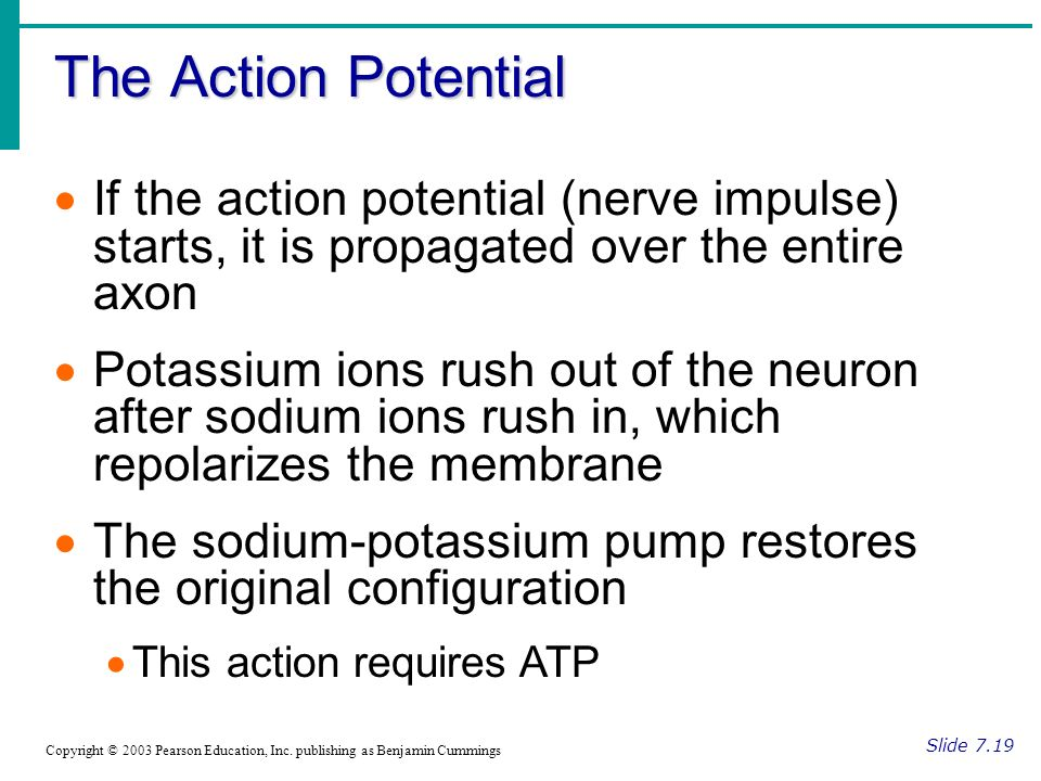 The Action Potential Slide 7.19 Copyright © 2003 Pearson Education, Inc.
