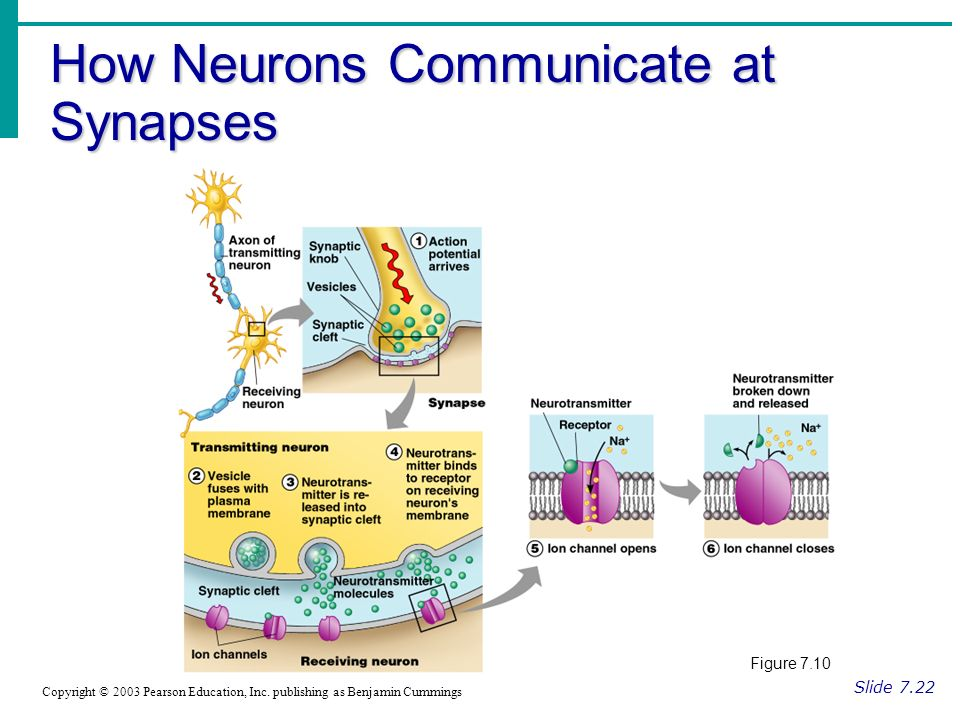How Neurons Communicate at Synapses Slide 7.22 Copyright © 2003 Pearson Education, Inc.