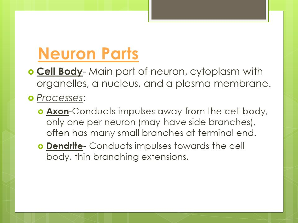 All Neurons are Made of Three Basic Parts  Cell Body  Dendrites  A Single Axon