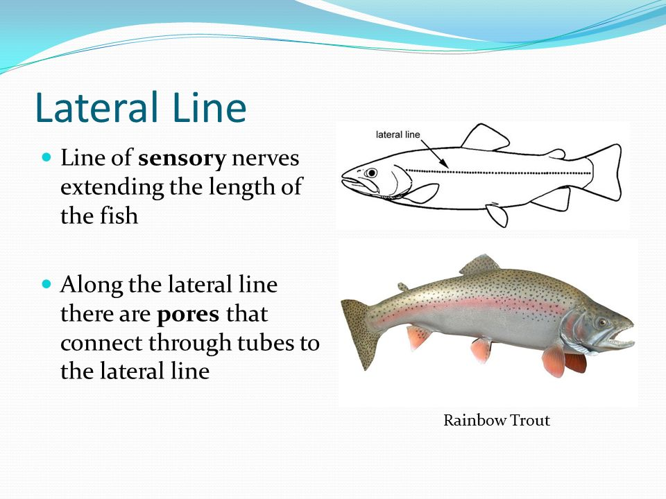 Lateral Line Line of sensory nerves extending the length of the fish Along the lateral line there are pores that connect through tubes to the lateral line Rainbow Trout