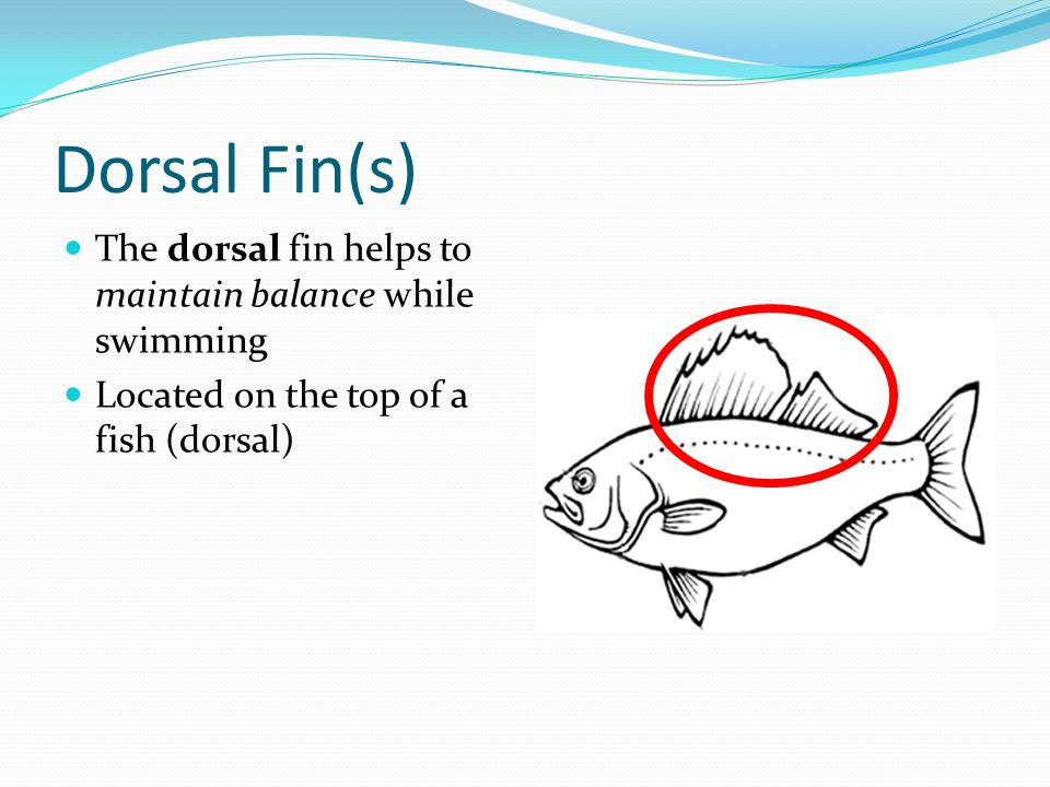 Dorsal Fin(s) The dorsal fin helps to maintain balance while swimming Located on the top of a fish (dorsal)
