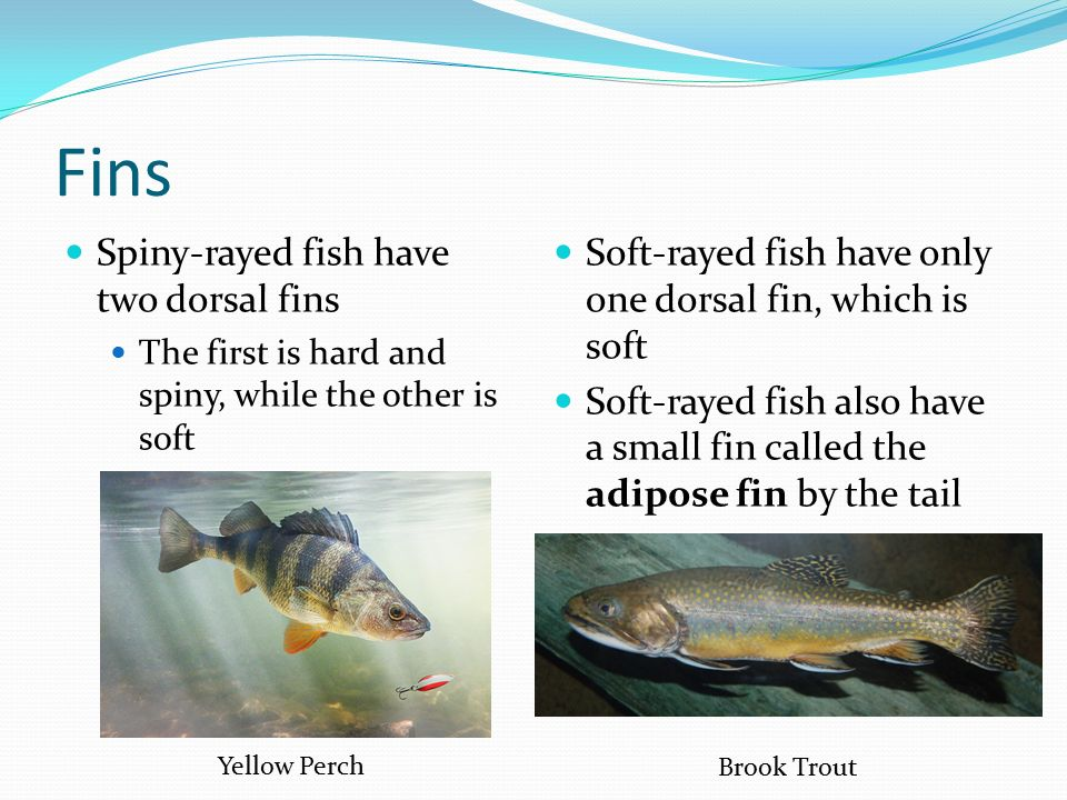 Fins Spiny-rayed fish have two dorsal fins The first is hard and spiny, while the other is soft Soft-rayed fish have only one dorsal fin, which is soft Soft-rayed fish also have a small fin called the adipose fin by the tail Yellow Perch Brook Trout