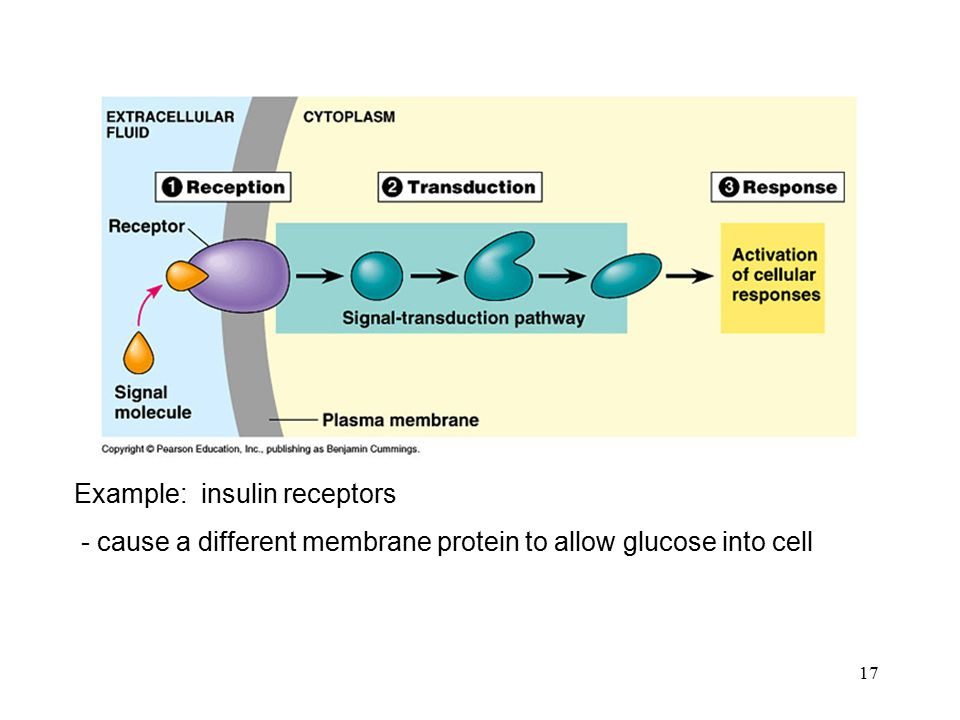 17 Example: insulin receptors - cause a different membrane protein to allow glucose into cell