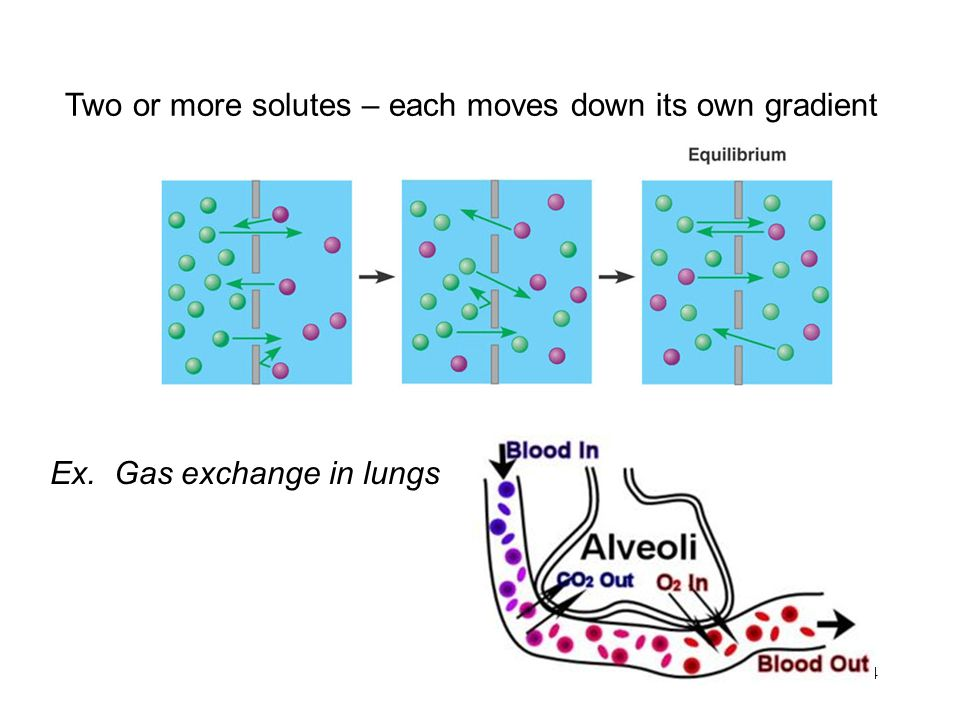 24 Two or more solutes – each moves down its own gradient Ex. Gas exchange in lungs