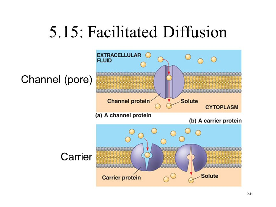5.15: Facilitated Diffusion 26 Channel (pore) Carrier