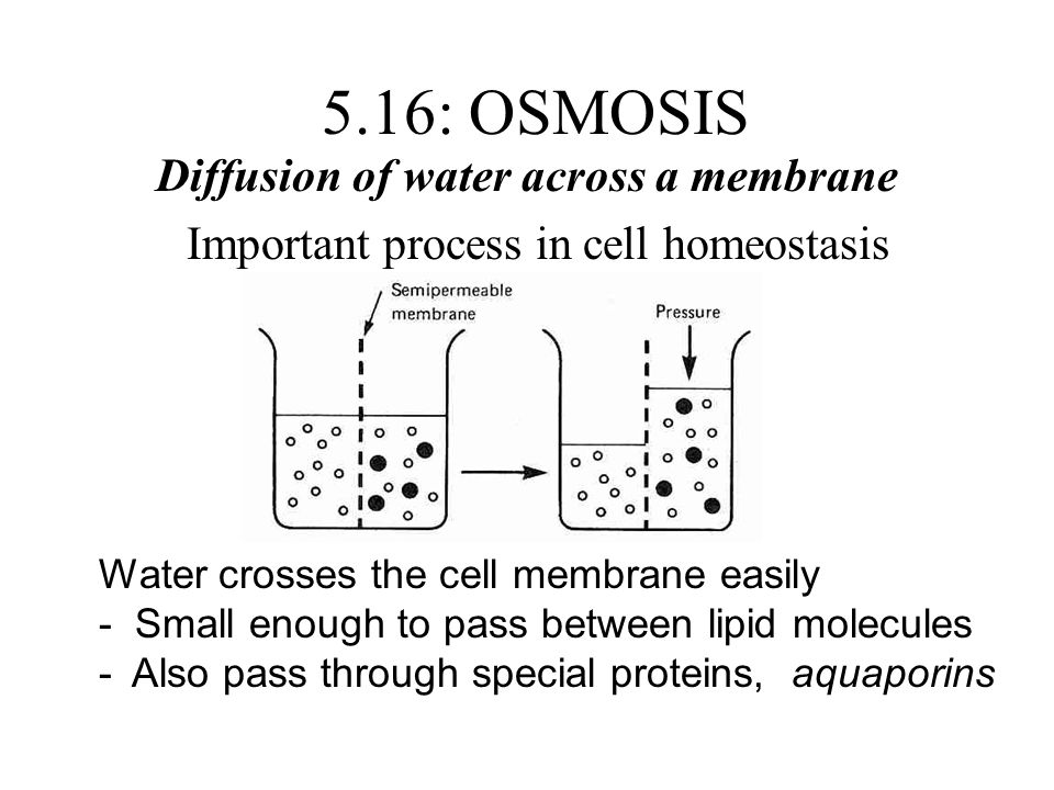 5.16: OSMOSIS Diffusion of water across a membrane Important process in cell homeostasis Water crosses the cell membrane easily - Small enough to pass between lipid molecules -Also pass through special proteins, aquaporins
