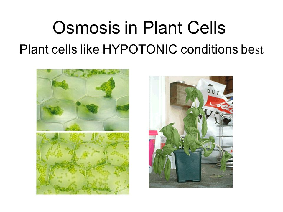 Osmosis in Plant Cells Plant cells like HYPOTONIC conditions be st
