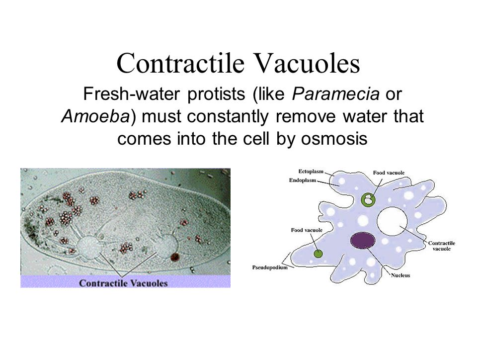 Contractile Vacuoles Fresh-water protists (like Paramecia or Amoeba) must constantly remove water that comes into the cell by osmosis