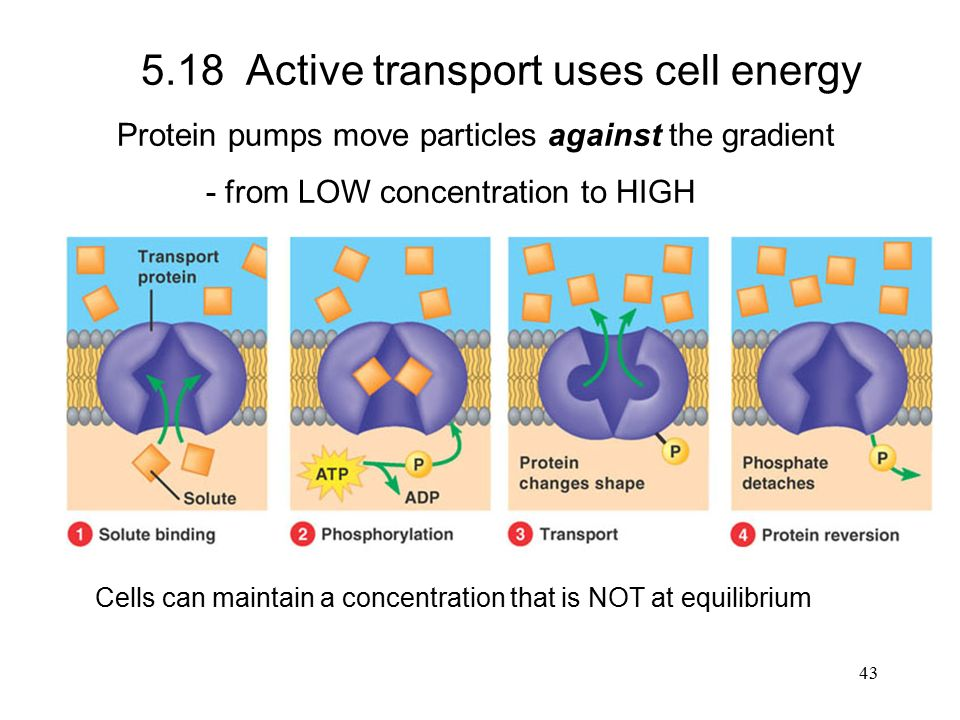 Active transport uses cell energy Protein pumps move particles against the gradient - from LOW concentration to HIGH Cells can maintain a concentration that is NOT at equilibrium