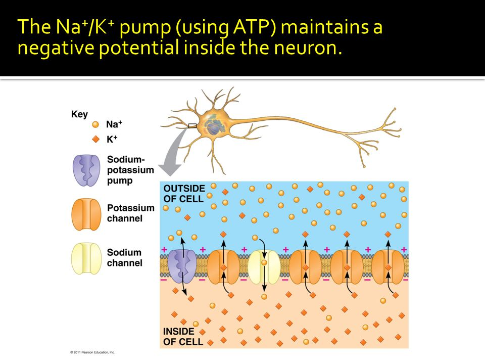 The Na + /K + pump (using ATP) maintains a negative potential inside the neuron.