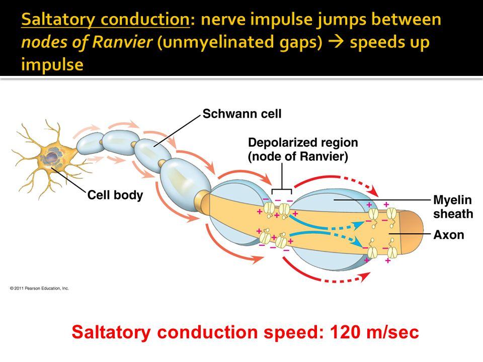 Saltatory conduction speed: 120 m/sec