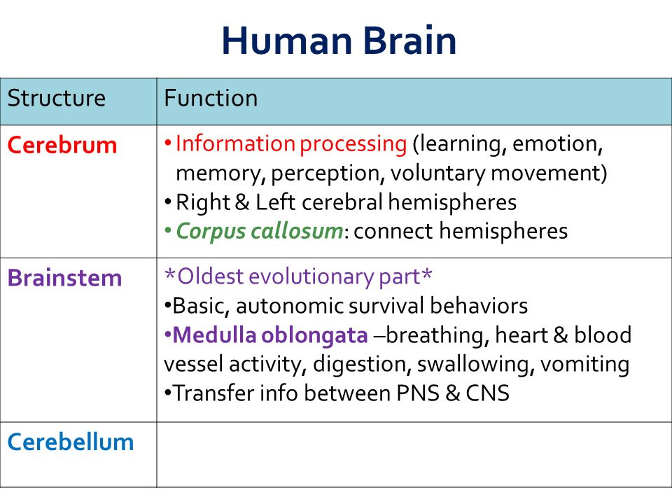 StructureFunction Cerebrum Information processing (learning, emotion, memory, perception, voluntary movement) Right & Left cerebral hemispheres Corpus callosum: connect hemispheres Brainstem *Oldest evolutionary part* Basic, autonomic survival behaviors Medulla oblongata –breathing, heart & blood vessel activity, digestion, swallowing, vomiting Transfer info between PNS & CNS Cerebellum Coordinate movement & balance Motor skill learning Human Brain