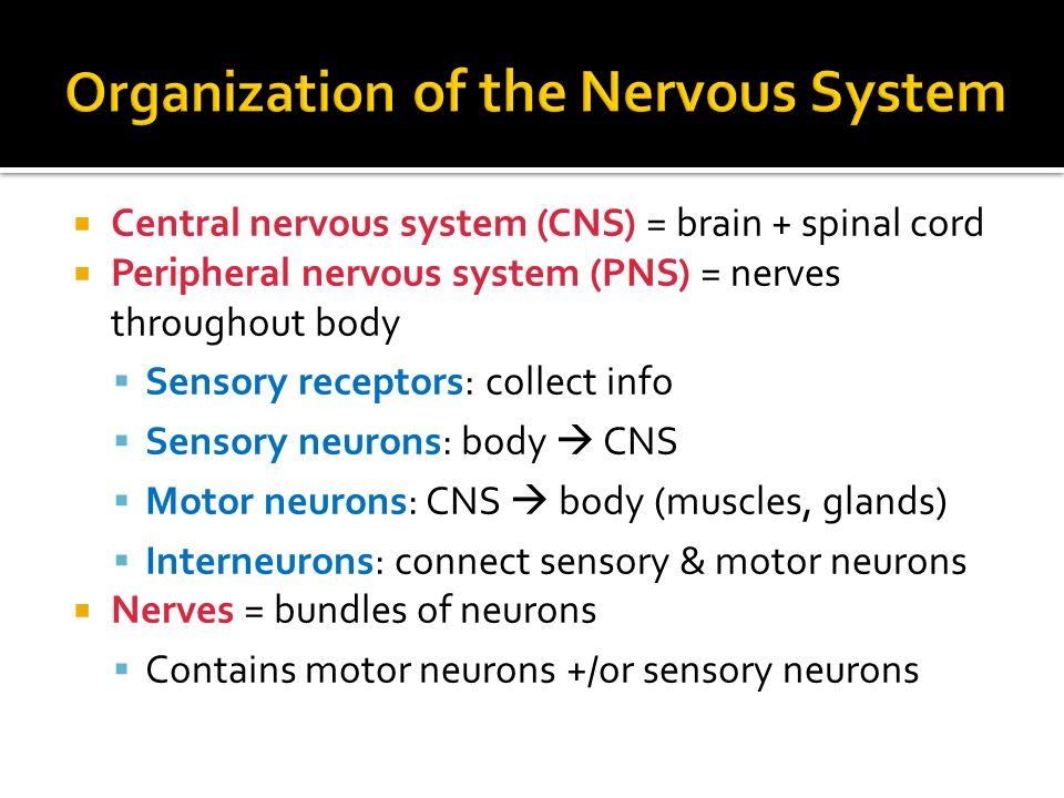  Central nervous system (CNS) = brain + spinal cord  Peripheral nervous system (PNS) = nerves throughout body  Sensory receptors: collect info  Sensory neurons: body  CNS  Motor neurons: CNS  body (muscles, glands)  Interneurons: connect sensory & motor neurons  Nerves = bundles of neurons  Contains motor neurons +/or sensory neurons
