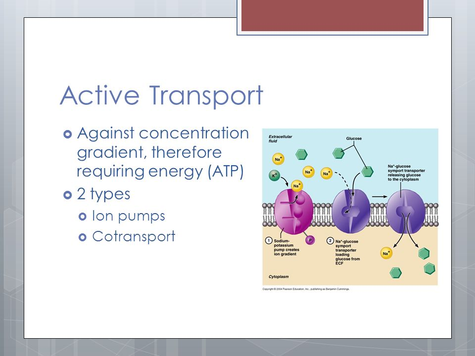 Active Transport  Against concentration gradient, therefore requiring energy (ATP)  2 types  Ion pumps  Cotransport