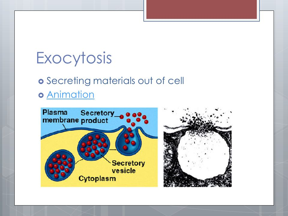 Exocytosis  Secreting materials out of cell  Animation Animation