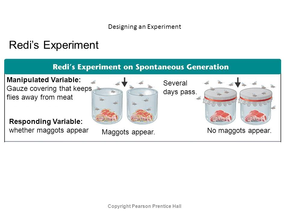Designing an Experiment Copyright Pearson Prentice Hall Redi's Experiment Manipulated Variable: Gauze covering that keeps flies away from meat Responding Variable: whether maggots appear Maggots appear.