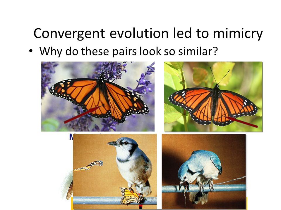 Convergent evolution 3 groups with wings – Does this mean they have a recent common ancestor.