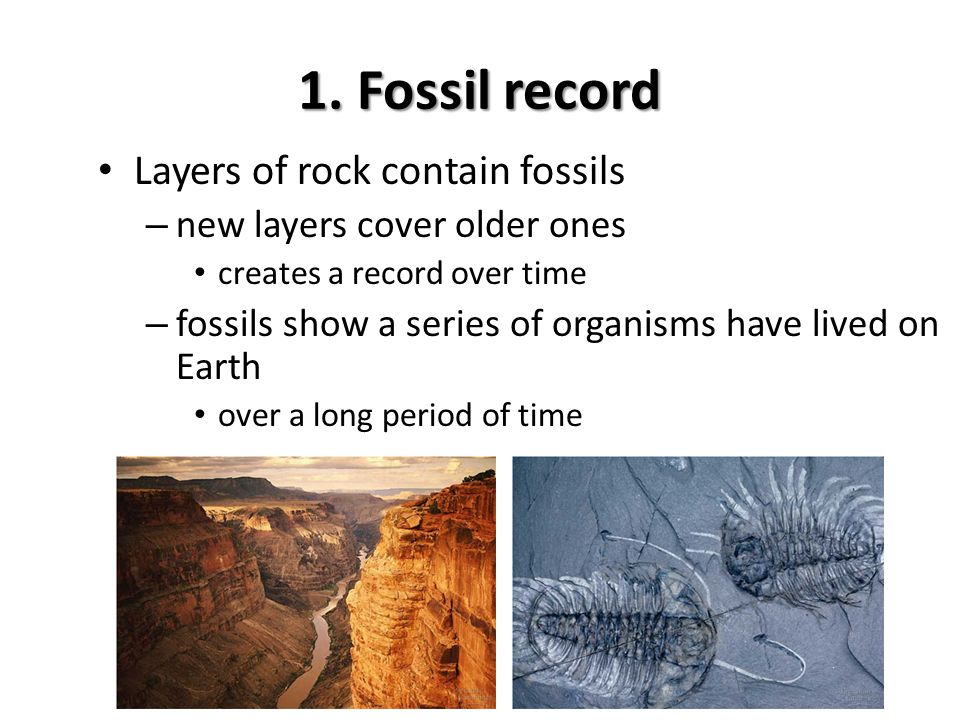 Evidence supporting evolution Fossil record – shows change over time Anatomical record – comparing body structures homology & vestigial structures embryology & development Molecular record – comparing protein & DNA sequences Artificial selection – human caused evolution