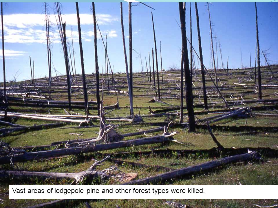 Vast areas of lodgepole pine and other forest types were killed.