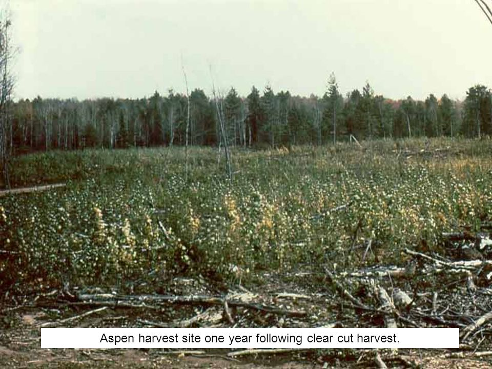 Aspen harvest site one year following clear cut harvest.