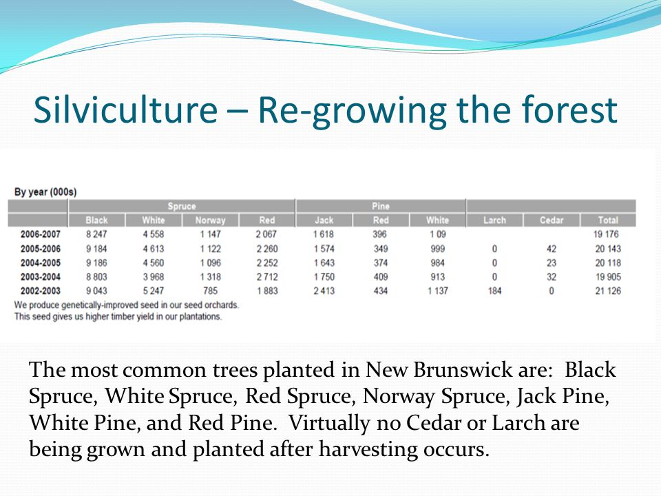 Silviculture – Re-growing the forest The most common trees planted in New Brunswick are: Black Spruce, White Spruce, Red Spruce, Norway Spruce, Jack Pine, White Pine, and Red Pine.