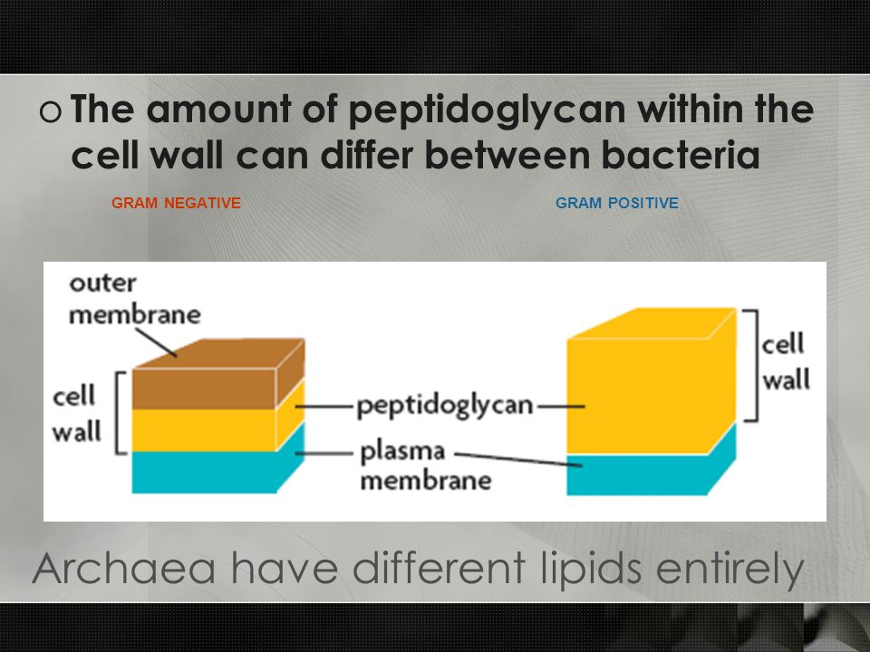 o The amount of peptidoglycan within the cell wall can differ between bacteria GRAM NEGATIVEGRAM POSITIVE Archaea have different lipids entirely