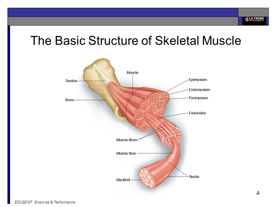 skeletal muscle structure - Yelom.myphonecompany.co