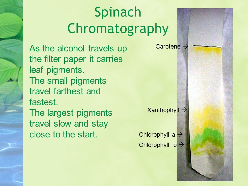 chromatography of photosynthetic pigments in spinach biology essay Chromatography of photosynthetic pigments aim: to determine the different photosynthetic pigments found in spinach and find their relative front values using paper chromatography by grinding the spinach leaves, its pigments were extracted in order to run a thin layer of chromatography film.