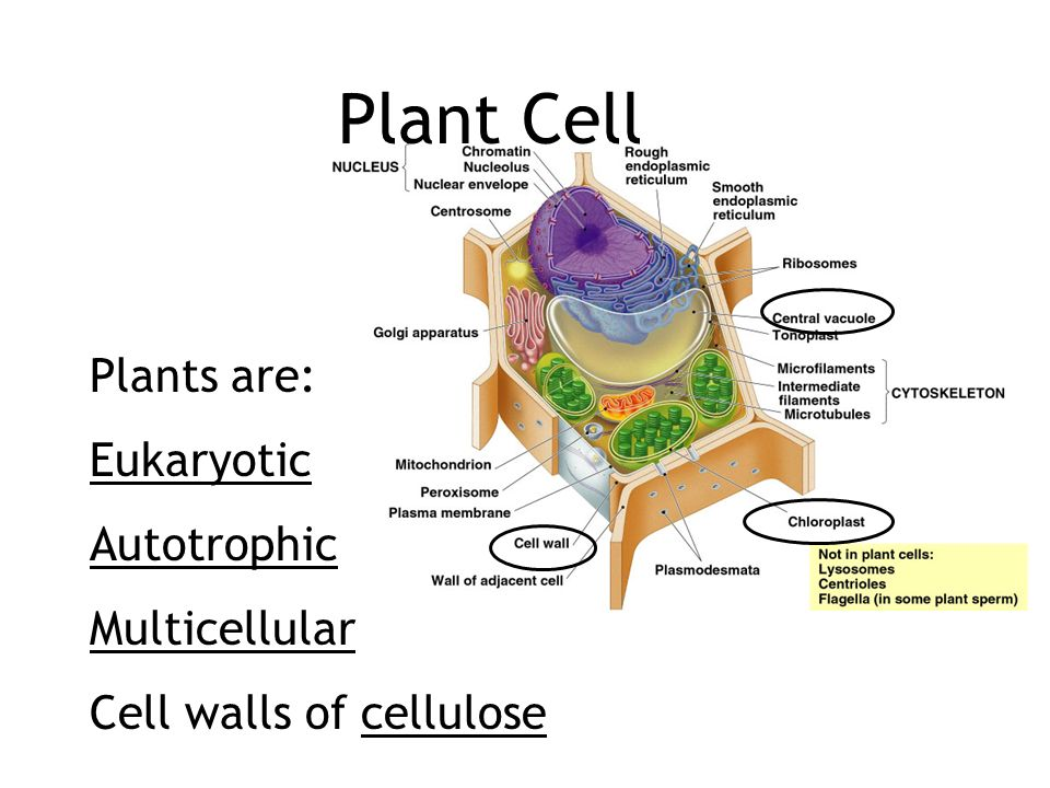 plant cells essay A summary of plant cells in 's cell differences learn exactly what happened in this chapter, scene, or section of cell differences and what it means perfect for acing essays, tests, and quizzes, as well as for writing lesson plans.
