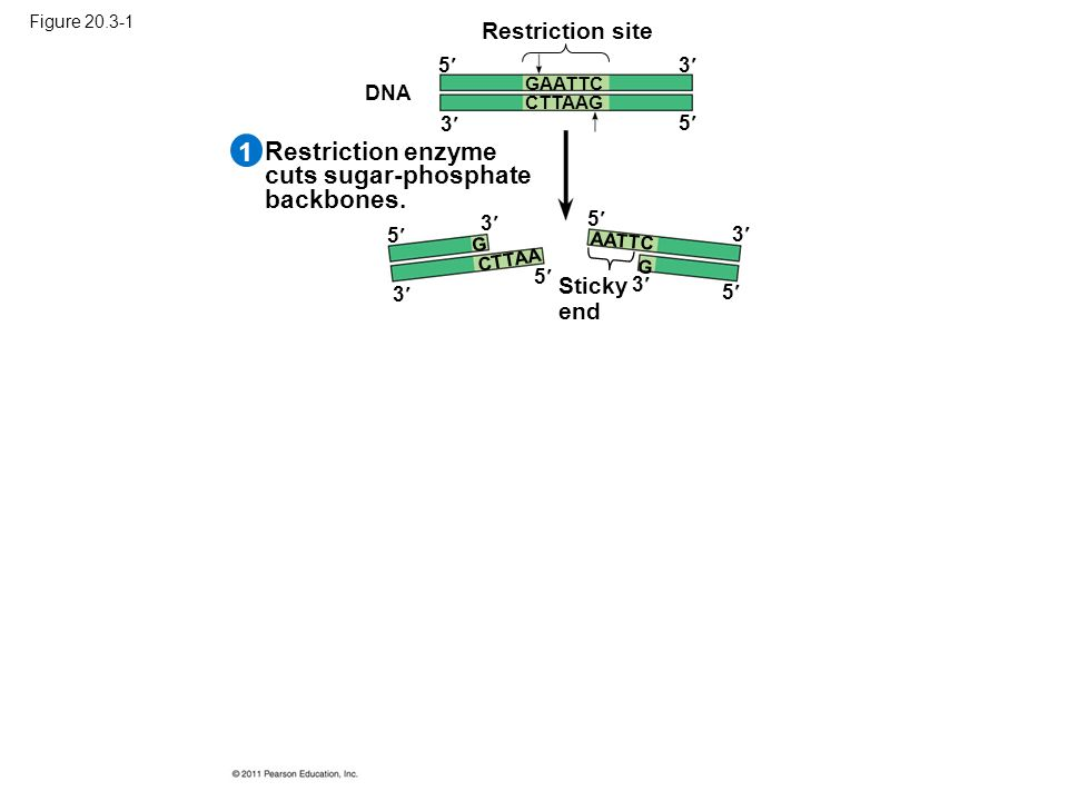 Figure 20.3-1 Restriction enzyme cuts sugar-phosphate backbones.