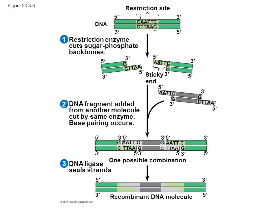 Figure 20.3-3 Recombinant DNA molecule One possible combination DNA ligase seals strands DNA fragment added from another molecule cut by same enzyme.