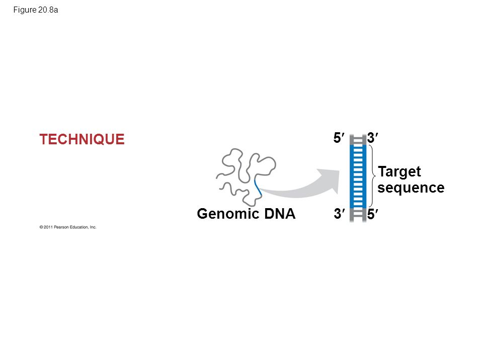 Figure 20.8a Genomic DNA Target sequence 5 5 3 3 TECHNIQUE