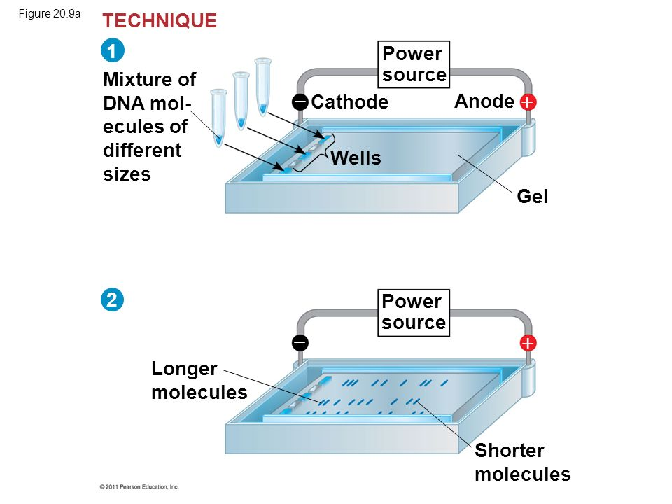 Figure 20.9a Mixture of DNA mol- ecules of different sizes Power source Longer molecules Cathode Anode Wells Gel Shorter molecules TECHNIQUE 2     1
