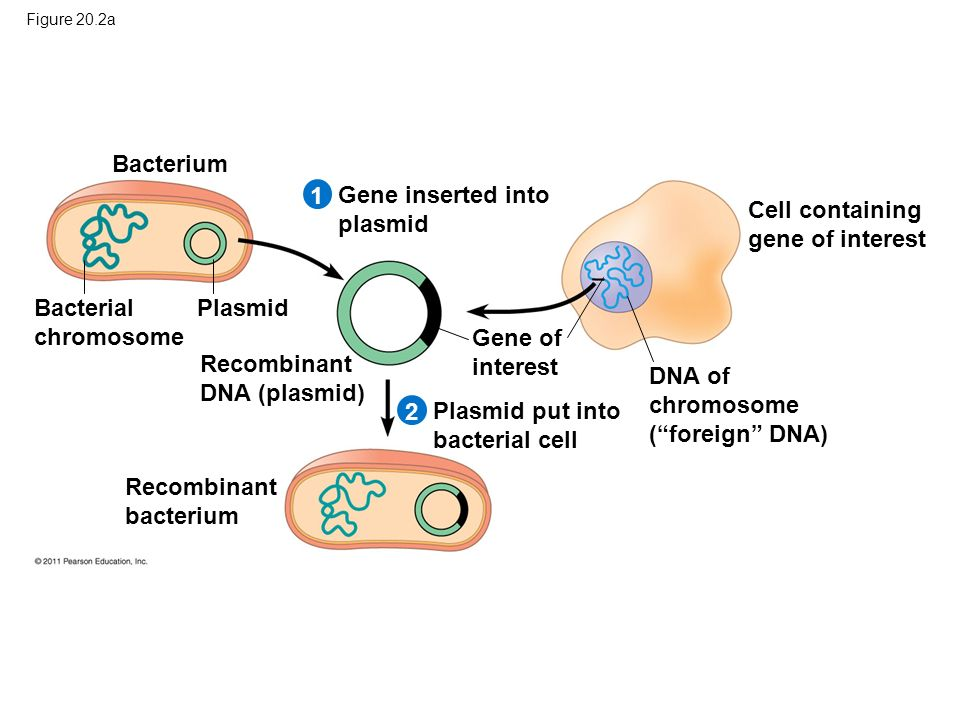Figure 20.2a Bacterium Bacterial chromosome Plasmid 21 Gene inserted into plasmid Cell containing gene of interest Recombinant DNA (plasmid) Gene of interest Plasmid put into bacterial cell DNA of chromosome ( foreign DNA) Recombinant bacterium