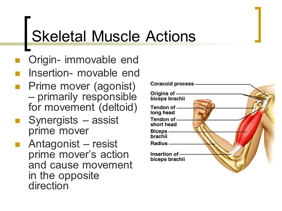 Muscular System Muscle Tissues Skeletal Muscle Smooth Muscle Pdf