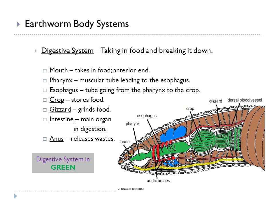  Earthworm Body Systems  Digestive System – Taking in food and breaking it down.