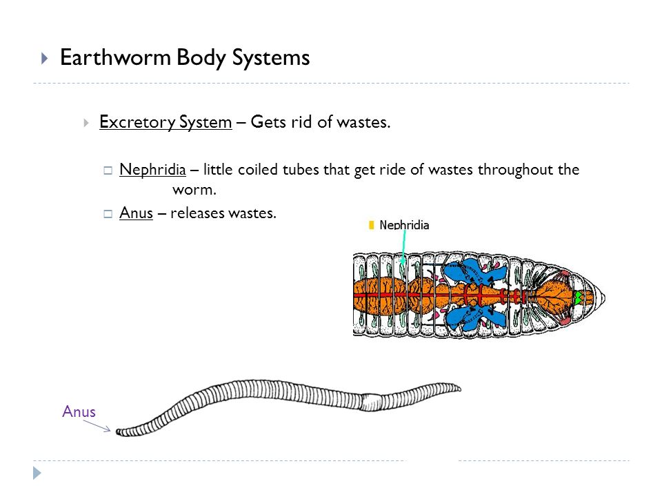  Earthworm Body Systems  Excretory System – Gets rid of wastes.