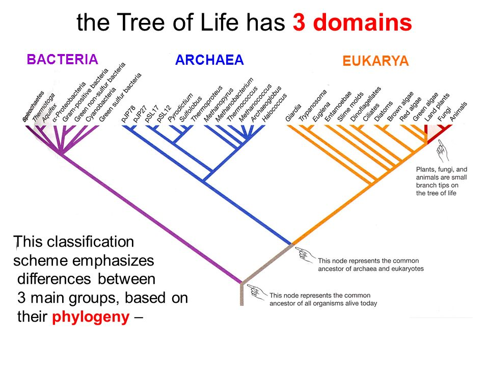 the Tree of Life has 3 domains This classification scheme emphasizes differences between 3 main groups, based on their phylogeny – BACTERIA ARCHAEA EUKARYA