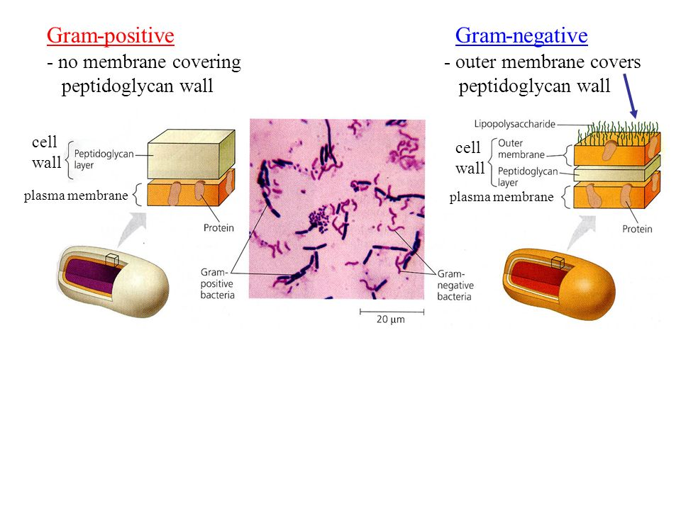 cell wall plasma membrane cell wall Gram-positiveGram-negative - outer membrane covers peptidoglycan wall - no membrane covering peptidoglycan wall
