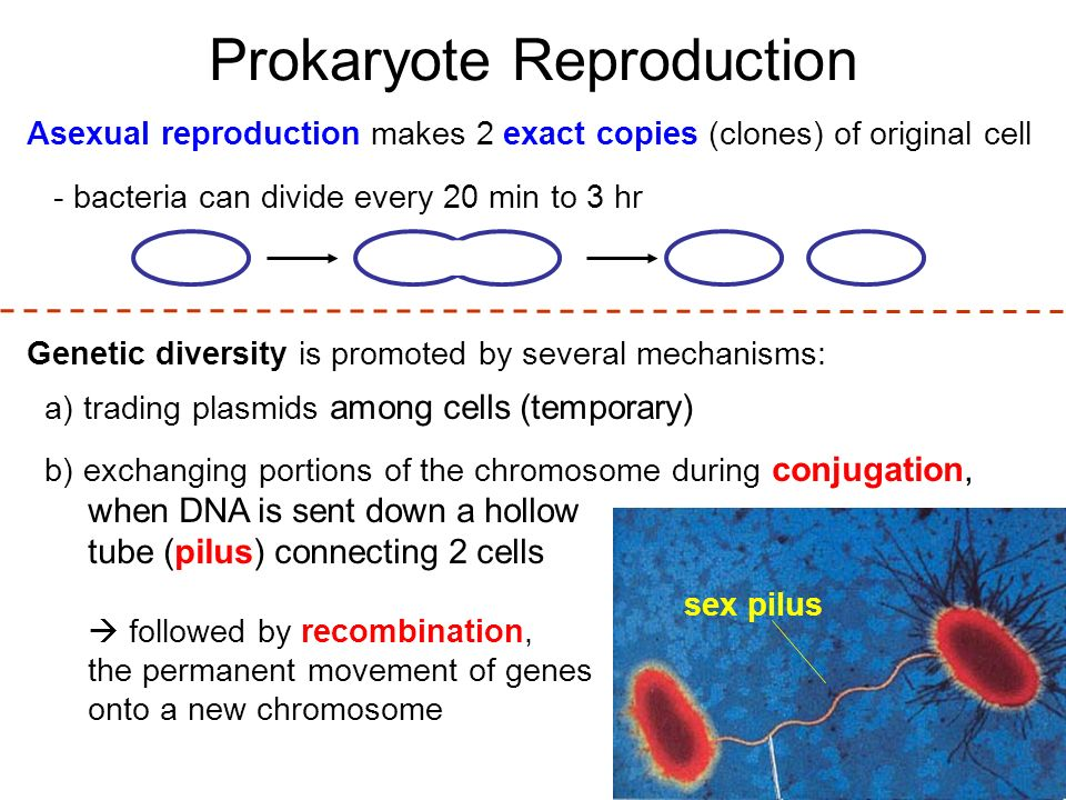 Prokaryote Reproduction Asexual reproduction makes 2 exact copies (clones) of original cell - bacteria can divide every 20 min to 3 hr Genetic diversity is promoted by several mechanisms: a) trading plasmids among cells (temporary) b) exchanging portions of the chromosome during conjugation, when DNA is sent down a hollow tube (pilus) connecting 2 cells  followed by recombination, the permanent movement of genes onto a new chromosome sex pilus