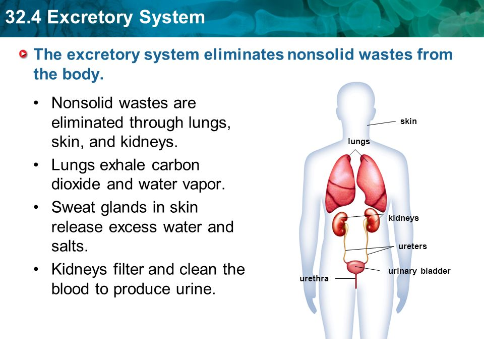 324 Excretory System KEY CONCEPT The excretory system removes – Excretory System Worksheet