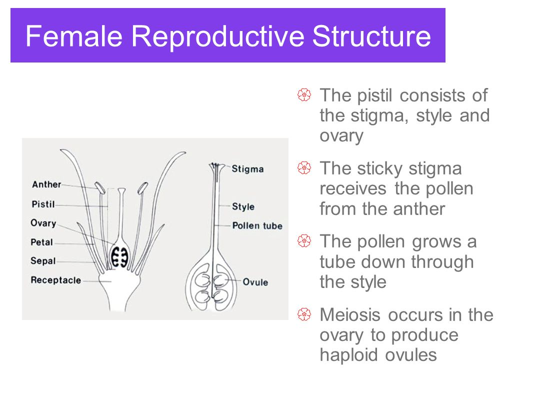 Male Reproductive Structure  The stamen consists of two parts: Anther and Filament  The anther is where meiosis occurs to produce haploid pollen  The filament is a stalk that supports the anther