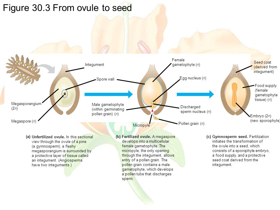 Figure 30.3 From ovule to seed Unfertilized ovule.
